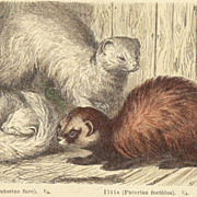 SOLD Beasts of Prey - Predators: Antique, tinted Etching from 1880