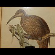 Antique Bird Print - Hullmandel & Walton handcolored lithograph Dendrcolaptes