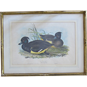 SALE Antique John Gould Hand Colored Lithograph Tufted Duck from Birds of Europe 1832-1837