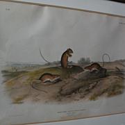 JOHN J. AUDUBON (1785-1851) original 19th century large folio lithograph print of quadruped ..
