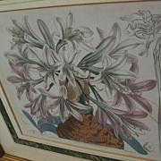 SYDENHAM EDWARDS (1768-1819) English botanical aquatint print with hand coloring