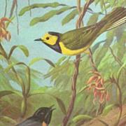 SALE PENDING Framed Bird Picture..Redstart & Warbler's On Branches..Signed..Walter A. Weber..C