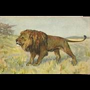 Stehli Freres Big Cat Vintage Postcard of Lion