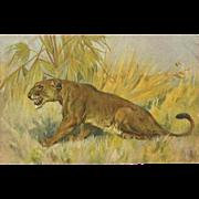 Stehli Freres Vintage Postcard of Ferocious Lioness