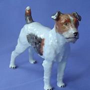 Fox terrier Jack Russell Dresden Germany