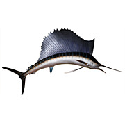 SOLD Taxidermy 9' Sailfish