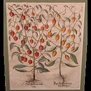 Basilius Besler 17th c Botanical Framed Print