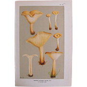 Mushroom Chromolithograph Print  Circa 1888