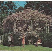 Giant Wisteria Duke Gardens Duke University Durham NC Vintage Postcard