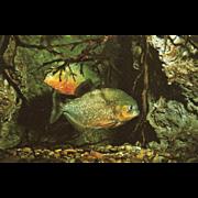 Piranhas Marineland of the Pacific Palos Verdes CA California Vintage Postcard