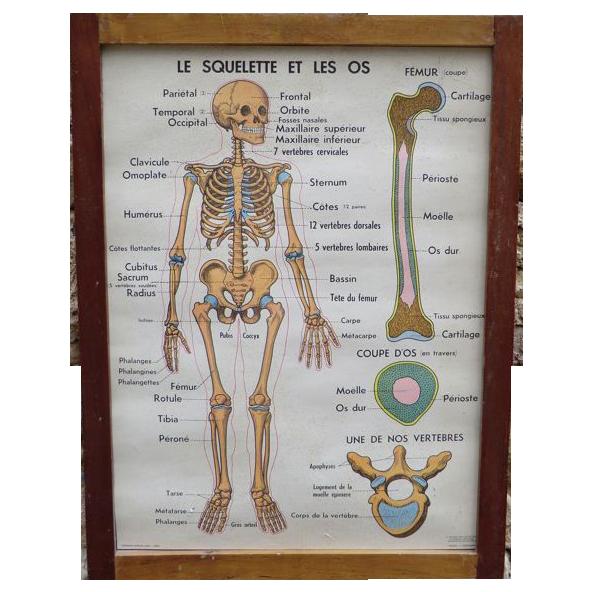 Anatomical poster Set