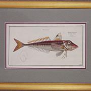 Original Antique Engraving of a Fish by Bloch, circa 1785 - 1797
