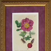 Hedgehog Rose - Botanical Engraving, circa 1819