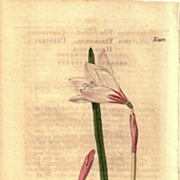 SALE Lovely Engraving from William Curtis BOTANICAL MAGAZINE