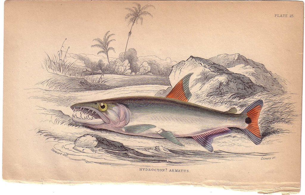 C. 1840 Detailed Engraving by William Lizars, Hydrocyon Armatus