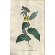 SALE Lovely Colored Engraving from Curtis Botanical Magazine