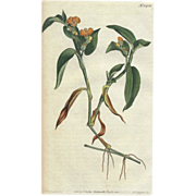 SALE Lovely Antique Botanical Print from Curtis Botanical Magazine