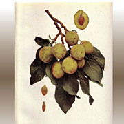 Lovely Fruit Print, 1911, PLUMS OF NY Golden Drop, Hedrick