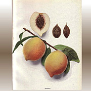 Lovely Fruit Print, 1917, PEACHES OF NY Imperial, Hedrick
