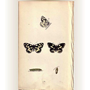 Lovely Hand-Colored Engraving Butterfly MARBLED WHITE, Morris