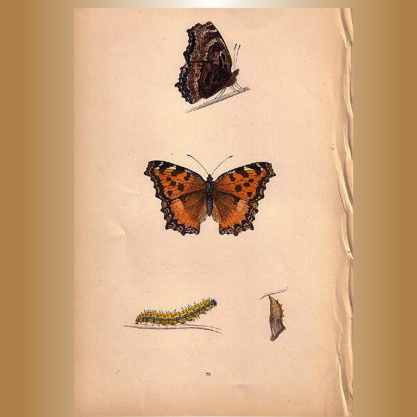 Lovely Butterfly Print, Large TORTOISE-SHELL Plate XXIX