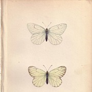 Lovely Hand-Colored Engraving BLACK VEINED Butterfly