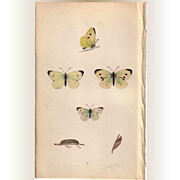 Lovely Hand-Colored Engraving Butterfly SMALL WHITE, Morris