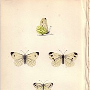 Lovely Hand-Colored Engraving Butterfly GREEN VEINED, Morris