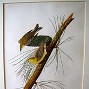 Lovely Framed Audubon Print, Pine-Creeping Wood Warbler