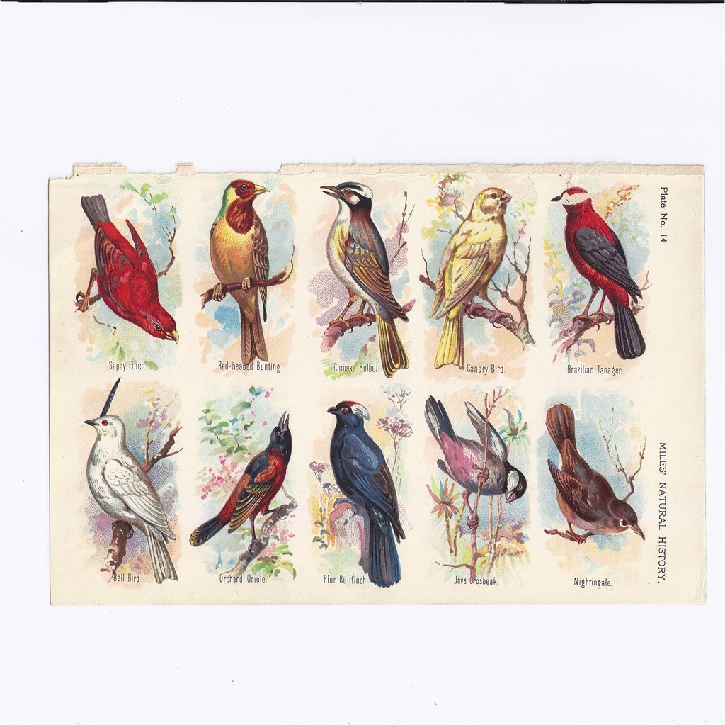 Lovely Chromolithograph Plate (Page) of 10 Birds from Miles' Natural History