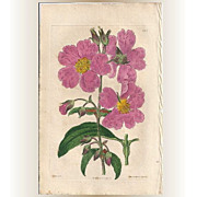 SOLD Original Hand-Coloured Copperplate Botanical Engraving, Syd Edwards