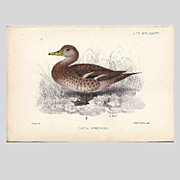 1870  Joseph Smit Hand-Finished Chromolithograph from PZS, Duck