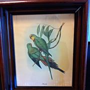 Wonderfully Framed J. Gould Parakeet Print by Sidney Z. Lucas