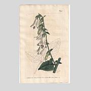 SALE Lovely CURTIS Botanical Print circa 1806 Campanula MACROPHYLLA
