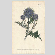 SOLD Lovely CURTIS Botanical Print circa 1806 Echinops Ritro