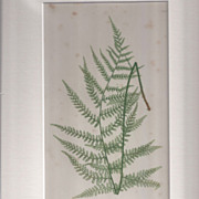 Circa 1859 Print From BRITISH FERNS by Thomas Moore