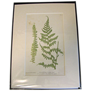 Circa 1859 Colored Print from BRITISH FERNS by Thomas Moore