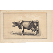 SALE Bi-Color Lithograph FLEMISH COW c. 1888 Julius Bien