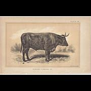 SALE Bi-Color Lithograph DURHAM-FLAMANDE OX c. 1888 Julius Bien