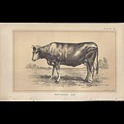 SALE Bi-Color Lithograph PARTHENAISE COW c. 1888 Julius Bien