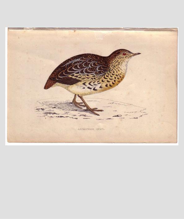 Bird Print from Natural History Book Andalusian QUAIL