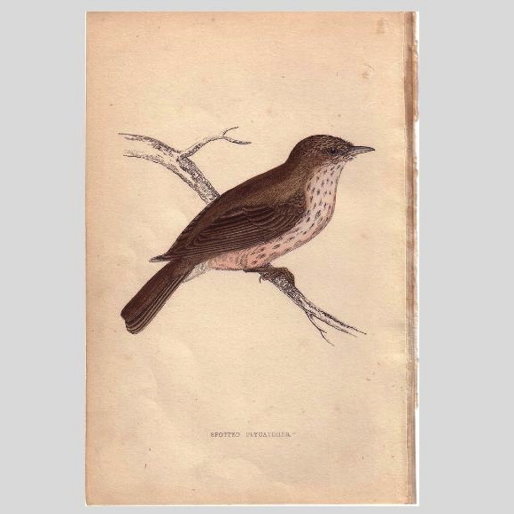 Bird Print from Natural History Book Spotted FLYCATCHER