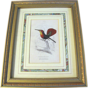 SALE Framed and Matted Hand-Colored Engraving of Hummingbird Lizars