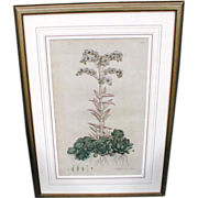 Lovely Framed w/ Glass Antique Botanical Print, SEMPERVIUM TECTORUM