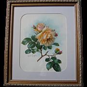c1902 Paul de Longpre Roses Print Chromolithograph Autographed by Book Author