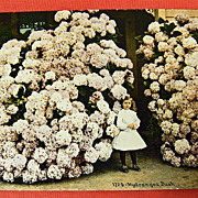 SOLD Vintage Postcard -  Little Girl and a HUGE Hydrangea Bush - UNUSED