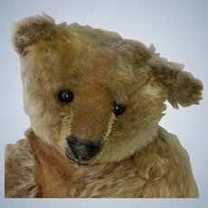 "That Face!  Fabulous 12"" Antique Steiff Blank Button Teddy Bear"