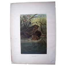 1885 Color Lithograph Plate of Bull Frogs by Prang