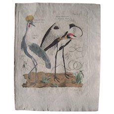 18th Century Hand Colored Engraving of Two Heron