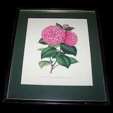 A  Vintage Botanical Framed Print Lovely Wall Art Camellia Commerzienrath Linau (Geitner)